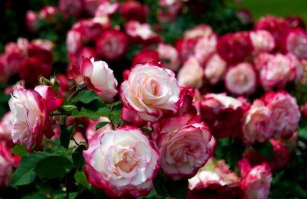 posadka-i-uhod-za-sazhencami-roz
