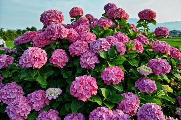 Правильная подкормка гортензии – залог длительного и пышного цветения