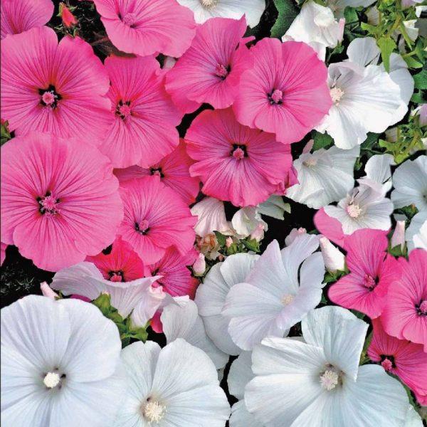 Лаватера великолепная смесь - фото урожая, цены, отзывы и ...