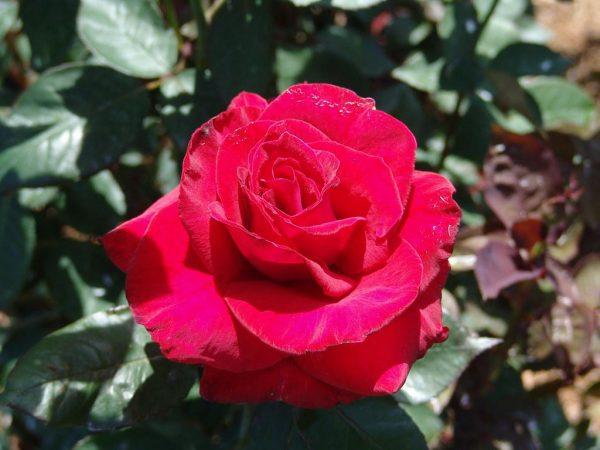 После этой подкормки во время цветения роза цветёт так сильно, что листьев не видно!