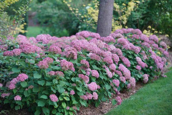 Чудный цветок – гортензия! Виды, сорта, выращивание с фото и видео