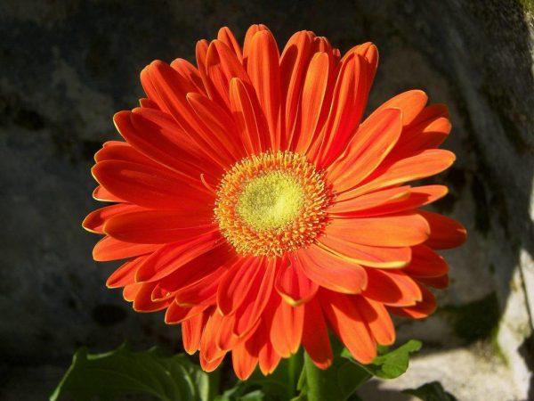 gerbera-petals-red-1024x768-1