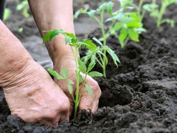 Если посадить сладкий перец так, то он завалит вас огромным урожаем!