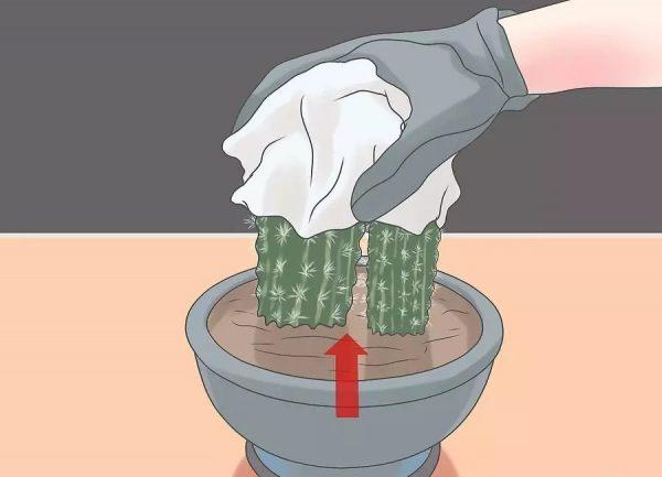 kak-peresadit-kaktus-4-3 jpg