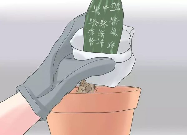 kak-peresadit-kaktus-4-9 jpg