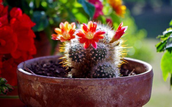 kak-peresadit-kaktus