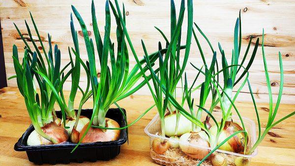 Как легко и быстро вырастить лук на зелень в домашних условиях и в теплице?