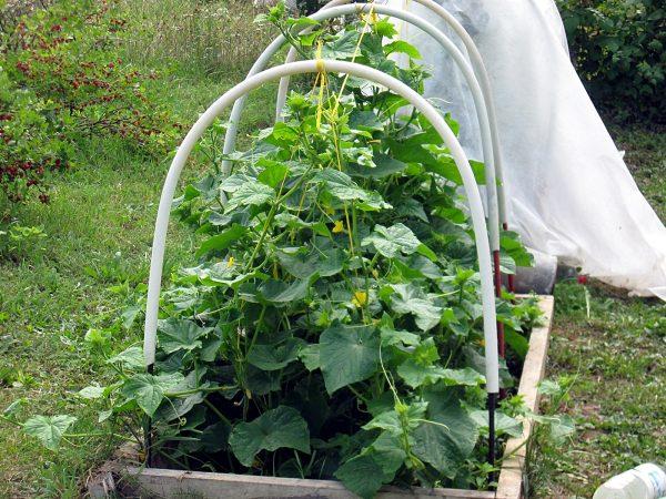Огурцы в теплице: посадка, уход, сбор урожая. Как защитить огурцы от болезней и вредителей?