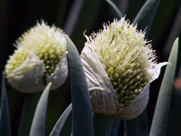 Как правильно выращивать лук-батун и как ухаживать за ним, чтобы урожай был огромным?