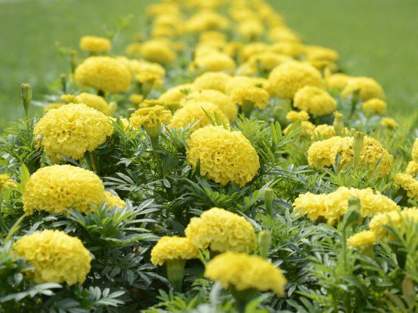 1-zheltye-mnogoletnie-cvety