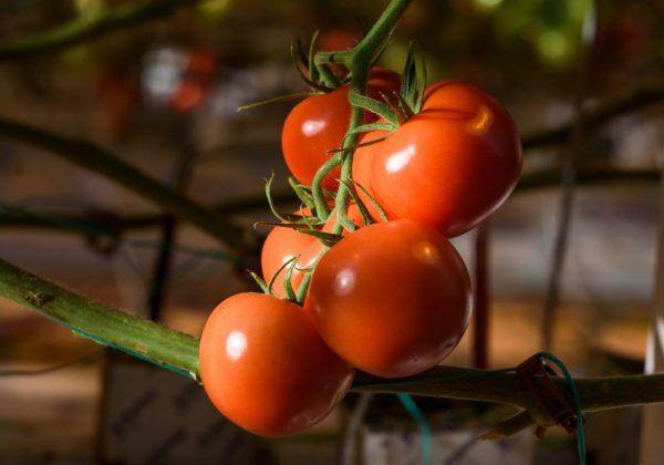 Podkormka-tomatov-vo-vremja-cvetenija-i-zavjazyvanija-plodov-1
