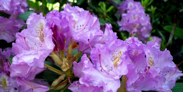 Rododendron-daurskiy