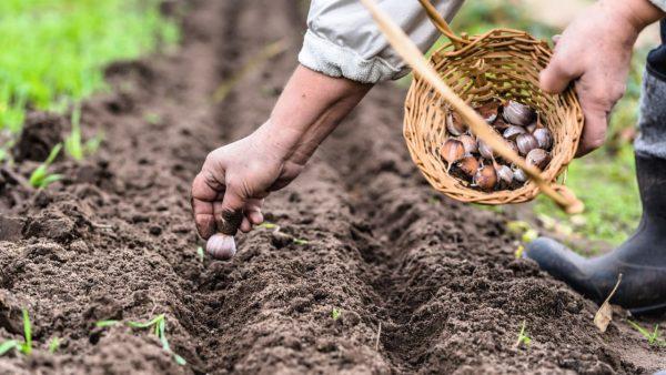 Как сажать чеснок семенами? Простой способ быстро размножить чеснок
