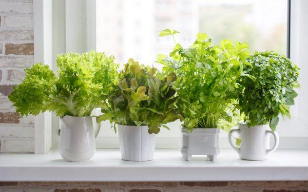 Выращивание петрушки на подоконнике: из семян, из корнеплодов и в открытом грунте