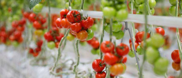 luchshie-sorta-tomata-dlya-teplic