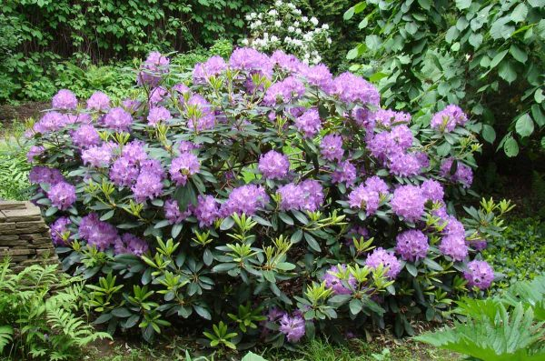 rododendron102