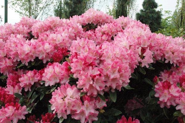 rododendrony-v-podmoskove-sorta-posadka-i-uhod-21
