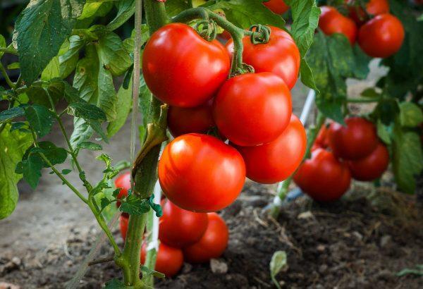Как посеять семена помидор в открытый грунт. Посев томатов из семян на грядке
