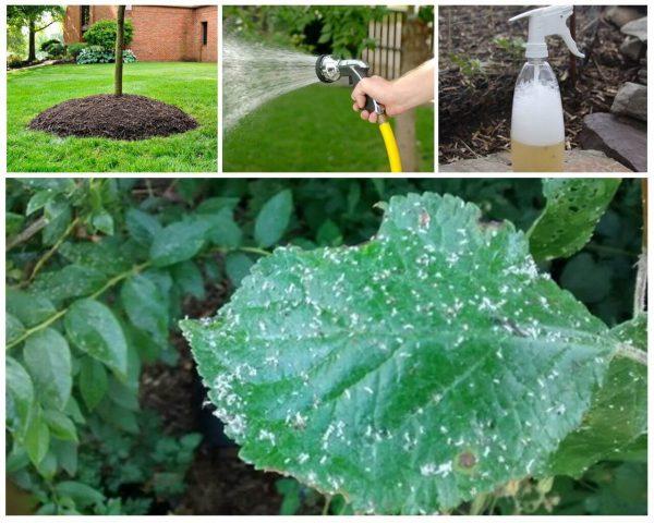 На листьях сливы зеленая тля. Эффективная борьба с тлей на сливе и ...