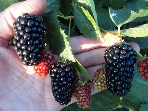 Ежевика: виды и лучшие сорта для выращивания в разных регионах ...