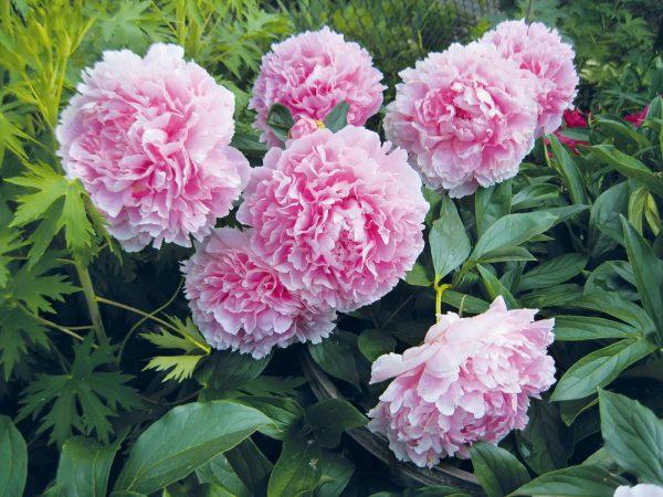 Розовые Пионы в саду - индивидуальные фотообои. Заказ фотообоев Розовые Пионы в саду (28565)