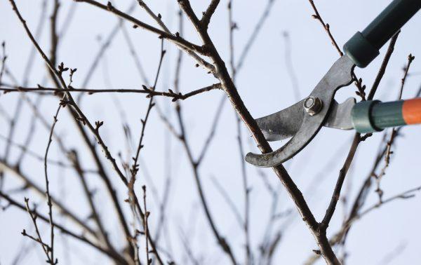 Обрезка плодовых деревьев зимой: когда применять зимнюю обрезку - Smak.ua