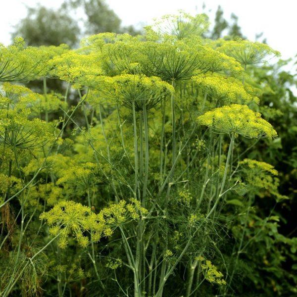 Густая зелень: как сделать так, чтобы укроп рос и не цвел все лето. Простая хитрость при посадке семян | Lifestyle | Селдон Новости