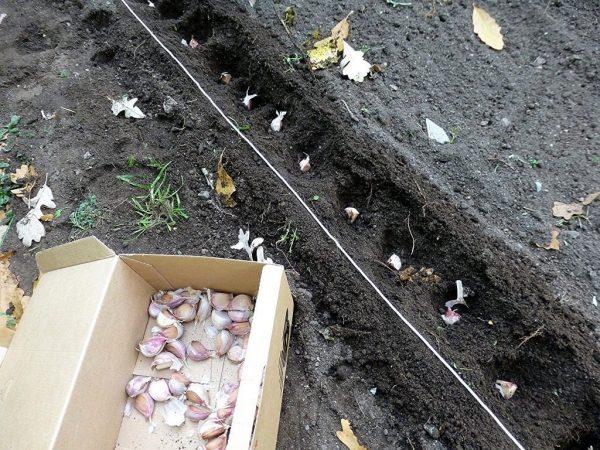 Как посадить чеснок весной? Секреты по выращиванию чеснока весной. —  Ботаничка.ru