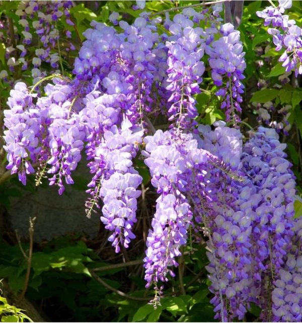 Wisteria Chinese Sapphire Blue