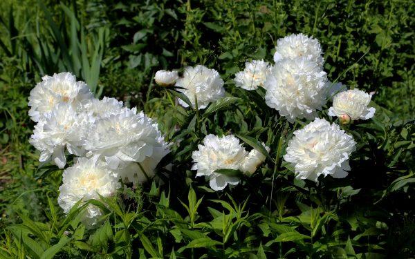 Картинка Белые пионы в саду » Пионы » Цветы » Картинки 24 - скачать картинки бесплатно
