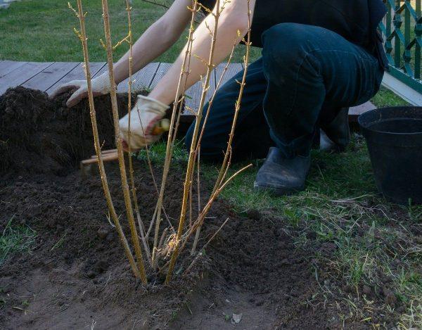 Чем подкормить смородину и крыжовник осенью | В саду (Огород.ru)