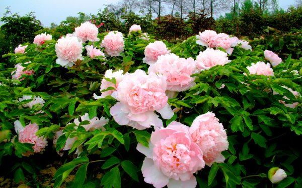 Картинка Пионы розовые в саду » Пионы » Цветы » Картинки 24 - скачать картинки бесплатно