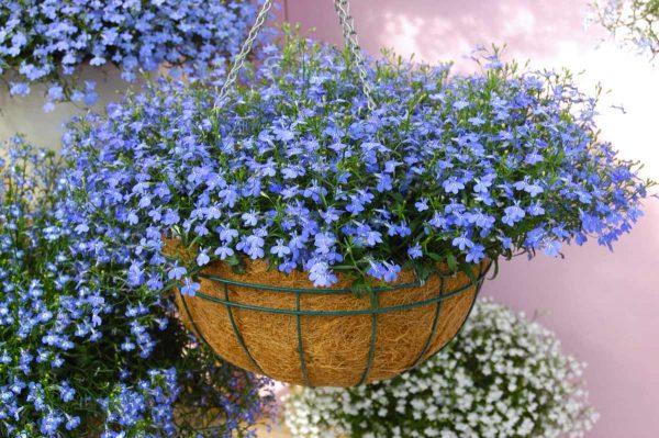 Лобелия: выращивание из семян, посадка и уход в открытом грунте, фото