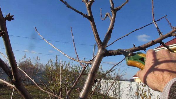 Осенняя обрезка плодовых деревьев: как обрезать яблоню и грушу, сливы и  вишни