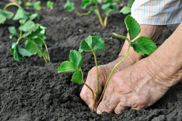 Как правильно сажать клубнику весной в открытый грунт: фото и название
