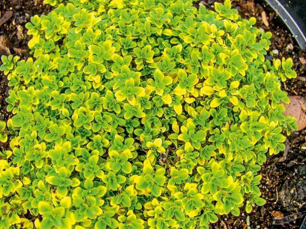 Тимьян лимоннопахнущий Грин (Green) - описание сорта, фото, саженцы, посадка, особенности ухода. Дачная энциклопедия.