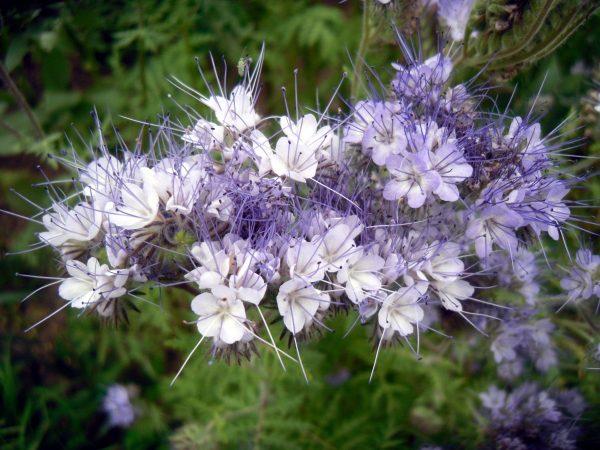Фацелия и другие, или зачем я сею сидераты - Огород, сад, балкон -  медиаплатформа МирТесен