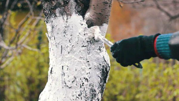 Осенние работы в саду: белим и обрезаем своими руками грамотно