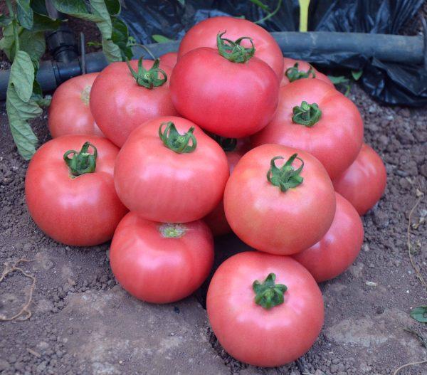 Лучшие розовые сорта томатов: посадка и уход