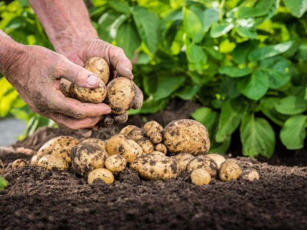Как правильно посадить клубни, чтобы получить достойный урожай - KICK.MEDIA