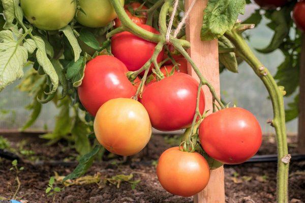 Биф-томаты от Партнера: Деревенский F1, Кастельяно F1, Королева F1