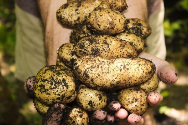 Как сохранить урожай картофеля надолго? Советы по правильному хранению картофельного урожая