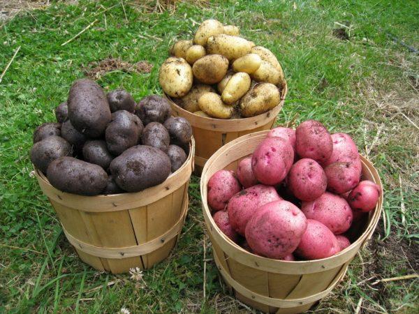 Картофель для посадки. Подготовка осенью и на следующий год огород завалит вас урожаем!
