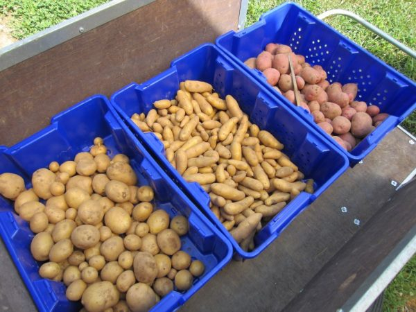 Как правильно отобрать, подготовить и хранить семенной картофель? —  Ботаничка.ru
