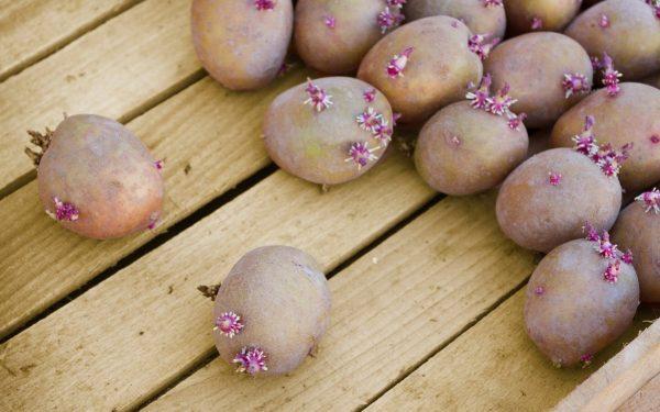 Готовим клубни картофеля к посадке: как не упустить важные моменты | На  грядке (Огород.ru)