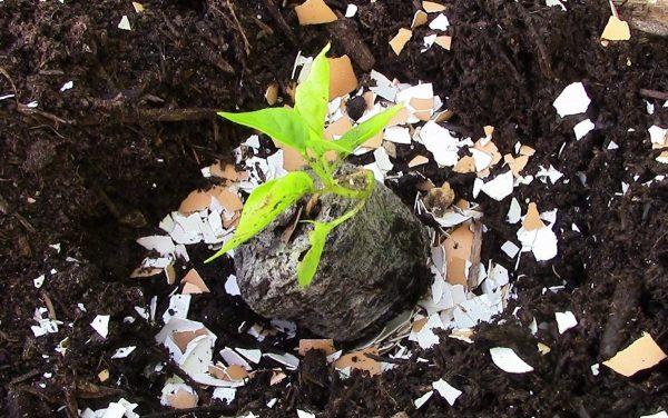 Удобрение из яичной скорлупы для огорода   Дела огородные (Огород.ru)