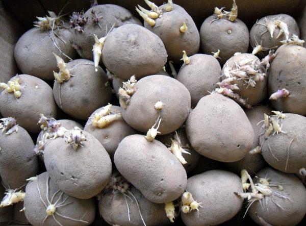 Подготовка картофеля к посадке весной: отбор клубней, замачивание, нарезка  и другие методы